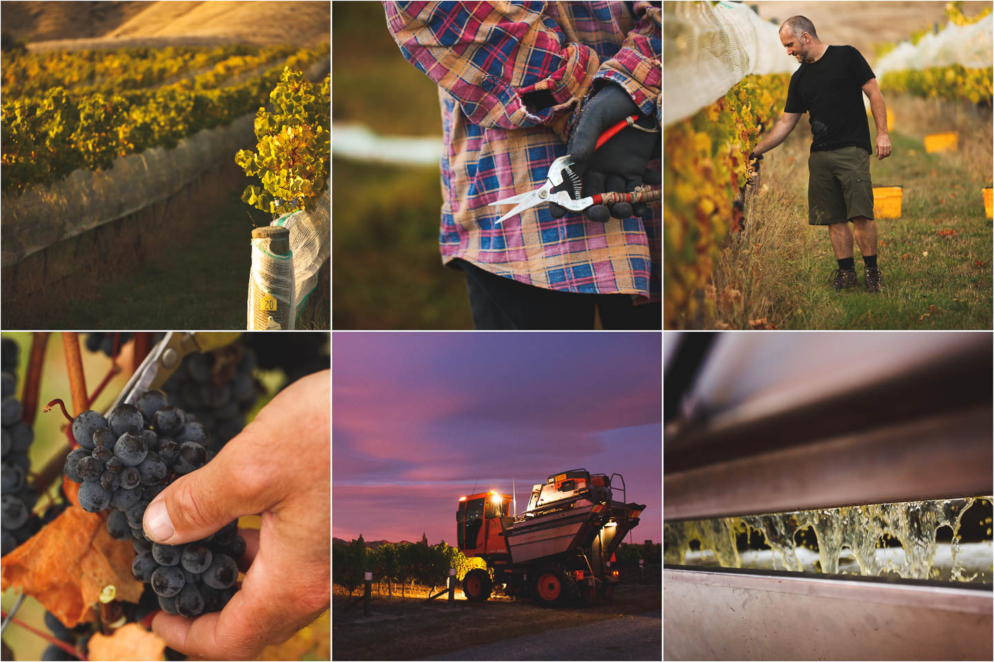 Wine Harvest Photography